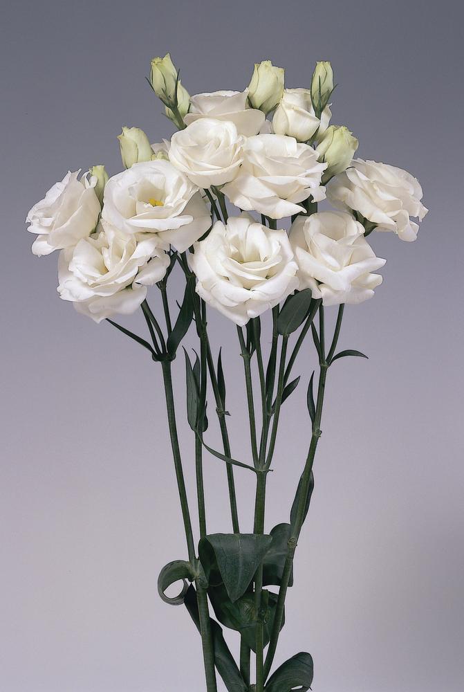 Rosita 1 White