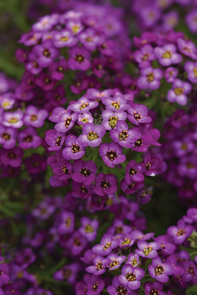 Easy Breezy™ Purple
