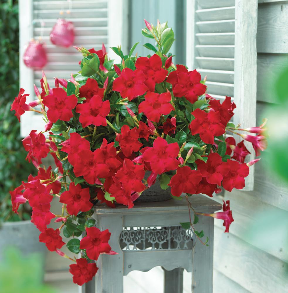 Sundaville® Velvet Red