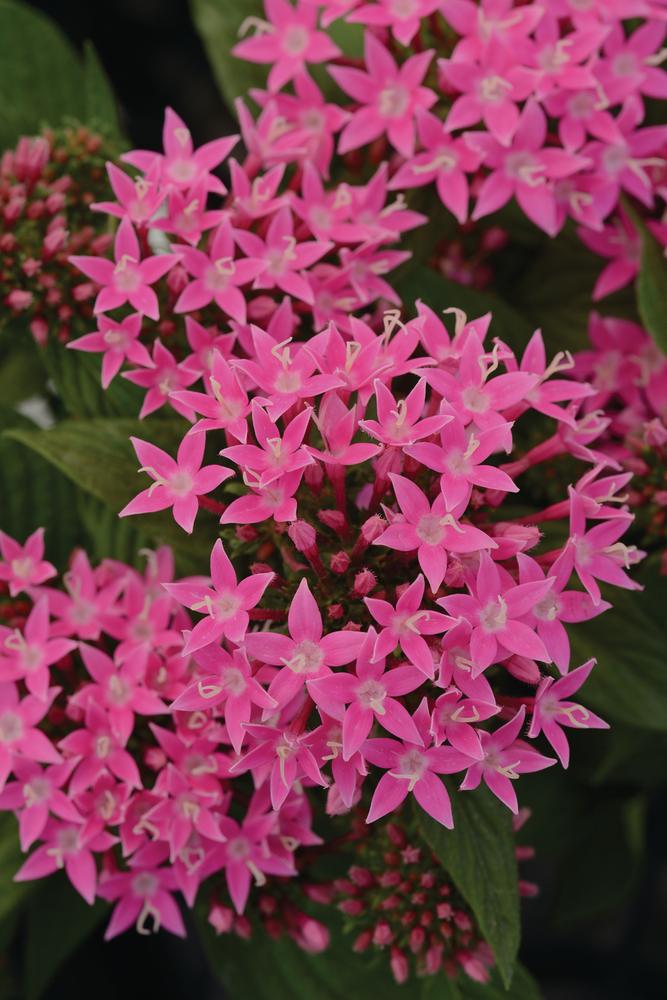 Lucky Star Pink Deep
