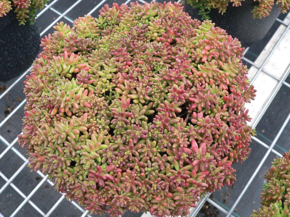 Coral carpet - Sedum album coral carpet ...