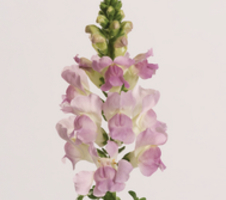 Antirrhinum majus Legend - Light Pink