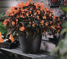 Begonia boliviensis  - Glowing Embers™ Orange