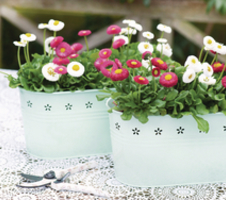 Bellis perennis Bella - Mix