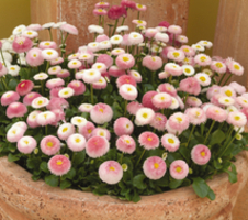 Bellis perennis is - sima Rose Bicolour