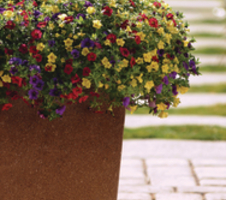Calibrachoa parviflora Cabaret® MixMasters® - Tropicana