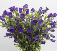 Campanula medium Champion 2 - Deep Blue