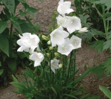 persicifolia