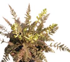 cheilanthifolia