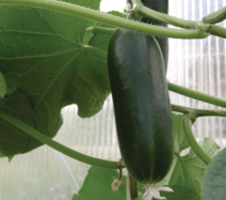 Cucumis sativus  - Rocky F1 Grafted
