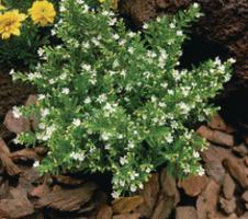 hyssopifolia