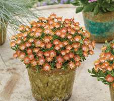Delosperma cooperi Ice Cream™ - Orange