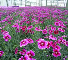 Dianthus caryophyllus  - Flutterburst®