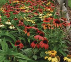 Echinacea hybrida  - Cheyenne Spirit