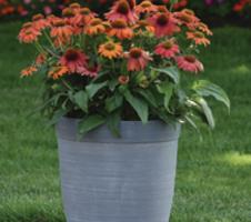 Echinacea purpurea Lakota™ - Red