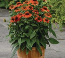 Echinacea purpurea Sombrero™ - Adobe Orange