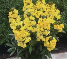 linifolium