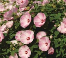 Hibiscus moscheutos Luna F1 - Pink Swirl