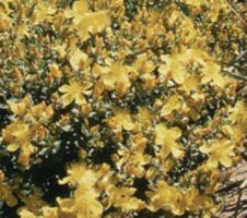 polyphyllum