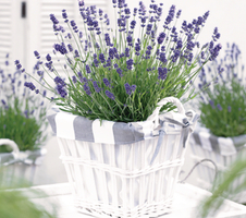 Lavandula angustifolia Essence - Purple