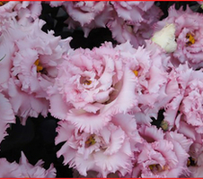 Lisianthus grandiflorum Celeb - 2 Extra Pink