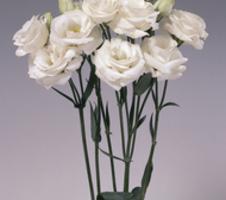 Lisianthus grandiflorum Rosita - 1 White