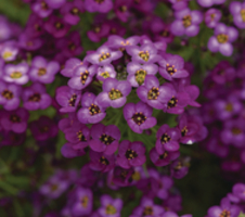 Lobularia maritima Easy Breezy™ - Purple