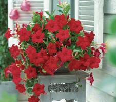 Mandevilla sanderi Sundaville® - Velvet Red