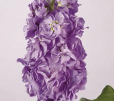 Matthiola incana Figaro - Lavender