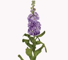 Matthiola incana Mathilda - Lavender