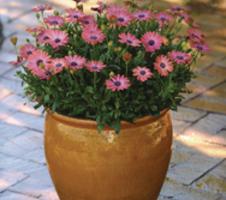Osteospermum ecklonis Serenity™ - Rose Magic