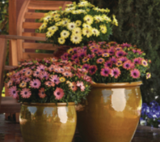 Osteospermum ecklonis Serenity™ - Rose Magic