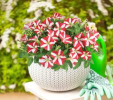 Petunia grandiflora Amore - King of Hearts