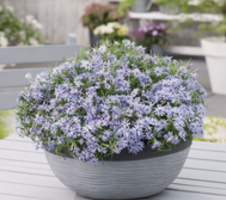 Phlox subulata Fabulous - Blue Dark Center