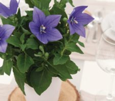 Platycodon grandiflorus Astra F1 - Blue