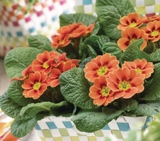 Primula vulgaris Sphinx® F1 - Real Orange