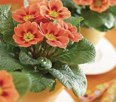 Primula vulgaris Sphinx® F1 - Real Orange