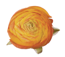 Ranunculus asiaticus Aazur - Orange 1-11