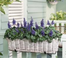 Salvia farinacea  - Mysty