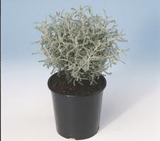 chamaecyparissus
