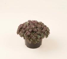 spathulifolium