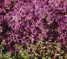 Thymus praecox  - Red Carpet
