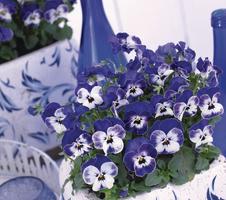Viola cornuta EVO Mini F1/Sorbet XP F1 - Delft Blue