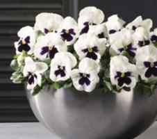 Viola wittrockiana EVO Big F1 - White Blotch