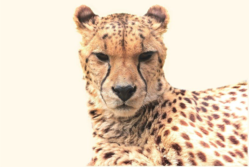 Quiz wiedzy o Gepardach quiz