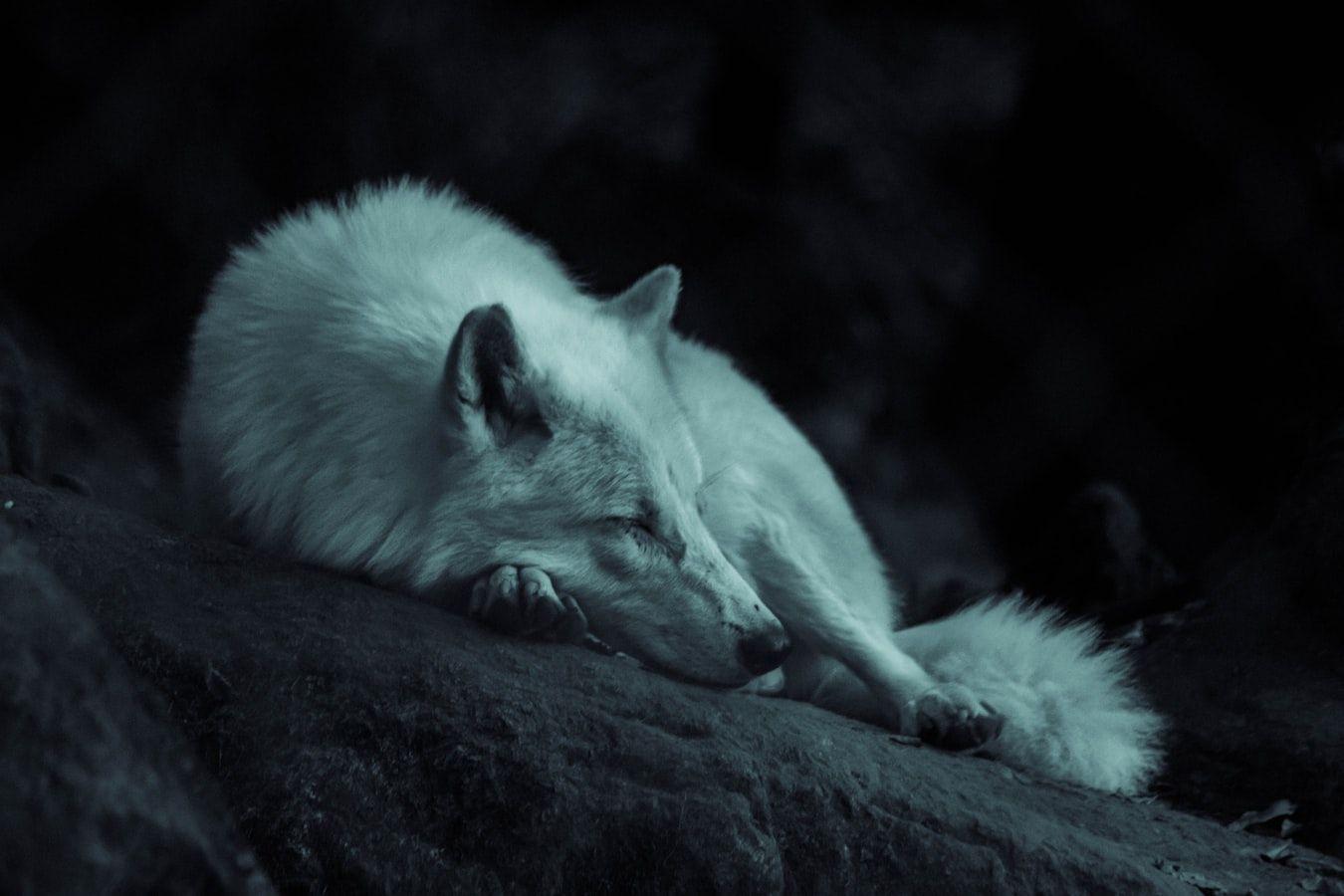 Quiz wiedzy o wilkach quiz