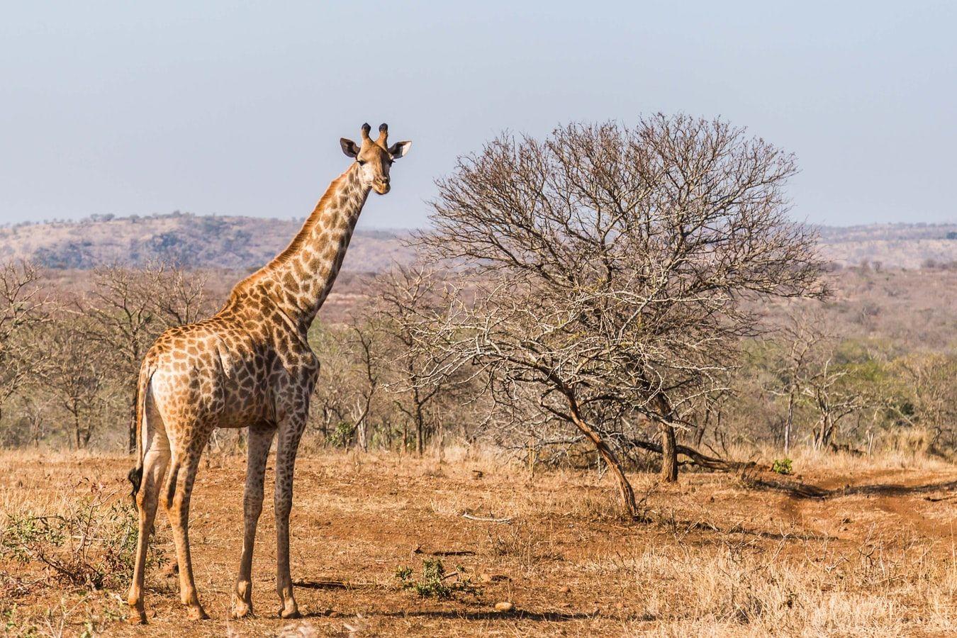 Co wiesz o żyrafach? quiz
