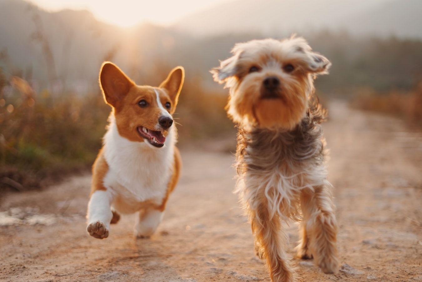 Rozpoznaj rasę psa quiz