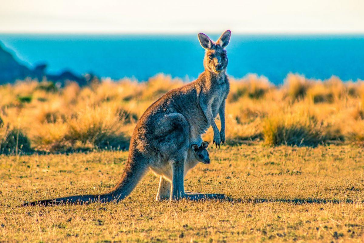 Co wiesz o kangurach? quiz