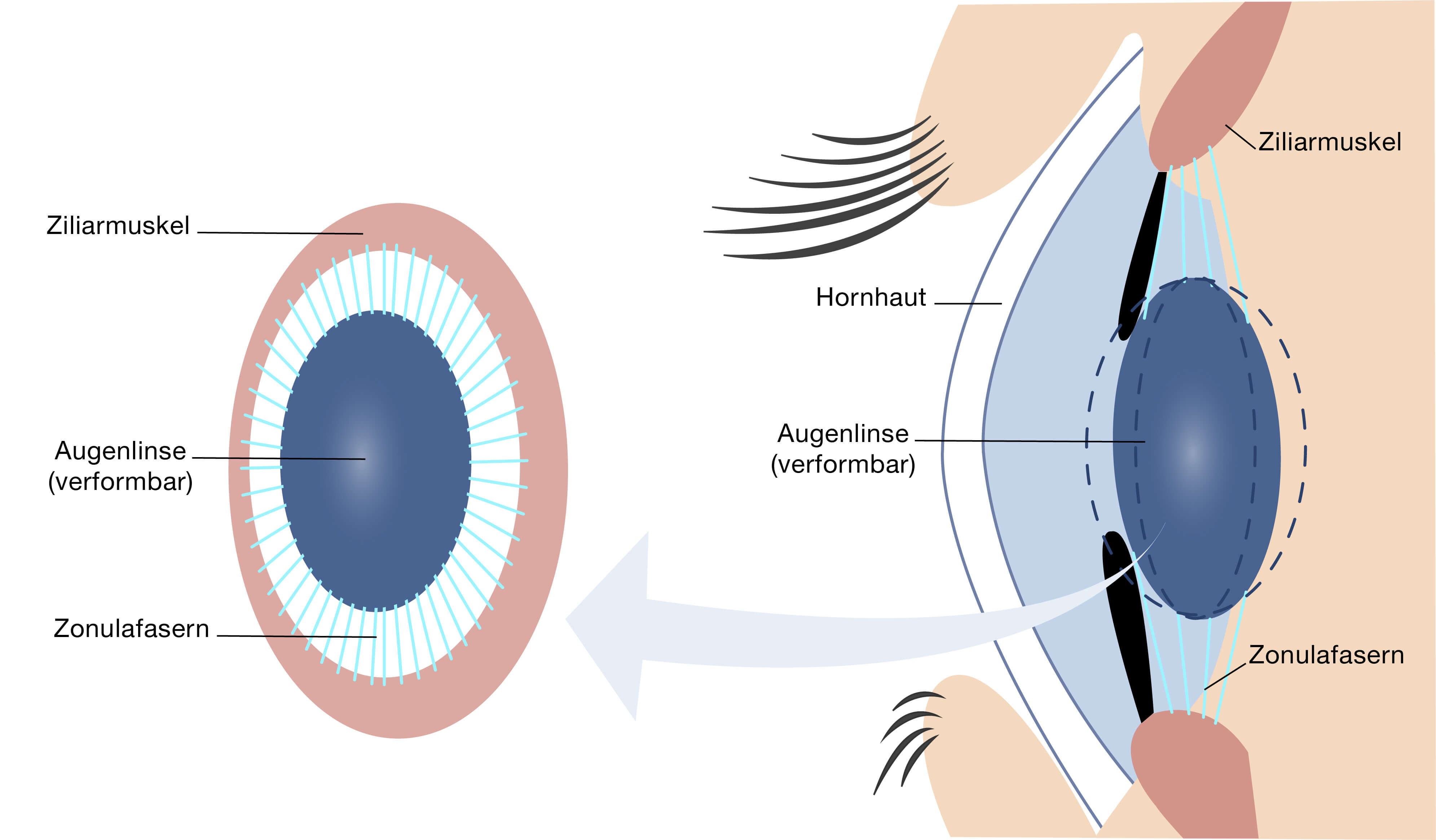 Augenmuskulatur und Linse - schematisch dargestellt.
